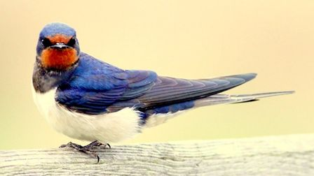 Swallow resting at Minsmere RSPB. Picture: ROBERT MCKENNA