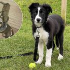 Scamp, a Border Collie puppy, almost swallowed a broken glass bottle at Kings Meadow in Wymondham