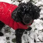 Jet, an 11-year-old toy poodle, has been missing in the snow for more than 22 hours.