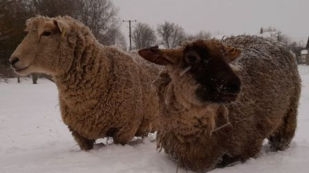 Sheep wrapped up warm in the snow in Gravestone