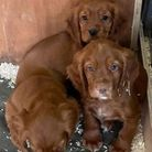 Picture of the stolen puppies.