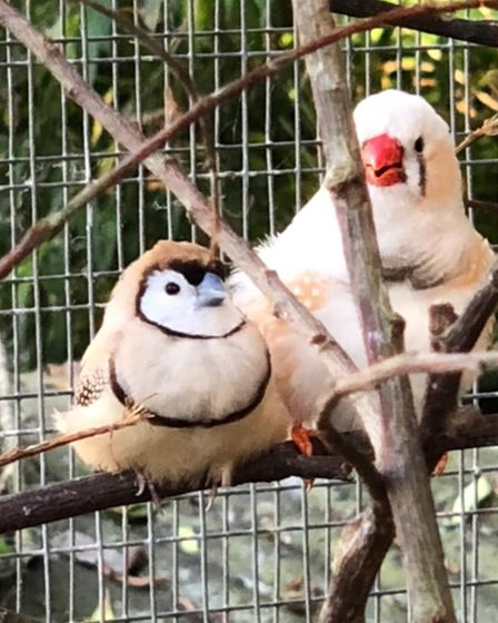 Picture captured of Owl Finch and Zebra Finch. More than 100 birds were stolen from an aviary in Seething.