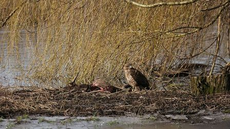 A bird of prey spotted tucking into a goat in Hellesdon.