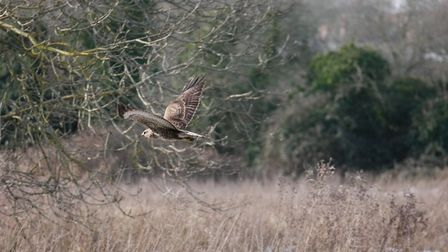 The bird takes flight after snacking on a goat in Hellesdon