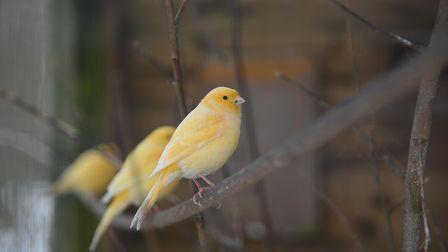 Some of the birds left in Craig and Gary Secker's aviary in their garden in Seething. Picture: Danie