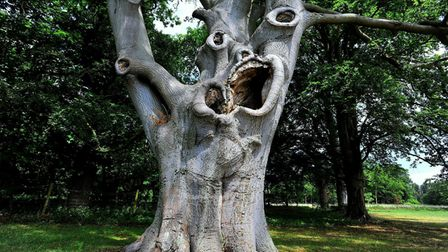 Stowlangtoft's infamous beech tree - complete with scary face
