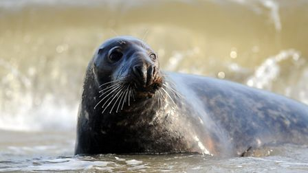 Scientists believe cannibal grey seals are responsible for the deaths of dozens of seal pups on the