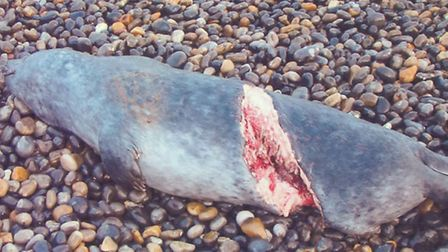 A dead seal with a corkscrew injury on the north Norfolk coast.