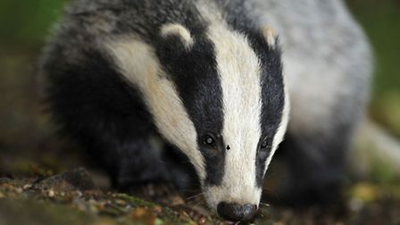 Labour has pledged to end pilot badger culls. Photo: Ben Birchall/PA Wire