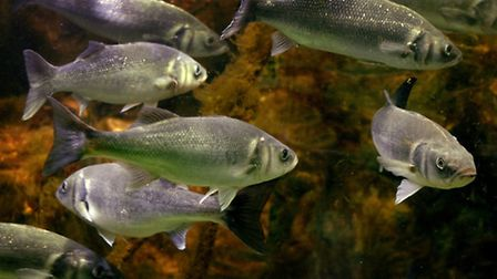 New measures are being proposed to safeguard the sea bass.