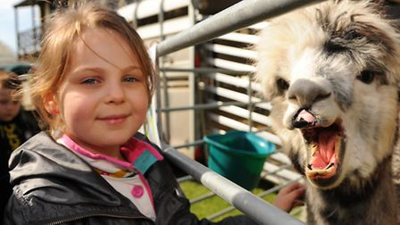The 2014 Spring Fling, held at the Royal Norfolk Showground. Ava Goffart, 6, meets an alpaca. Pictur