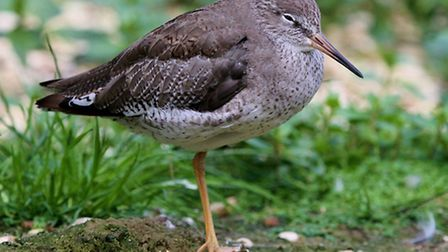 Redshank: Another of our common wader species.