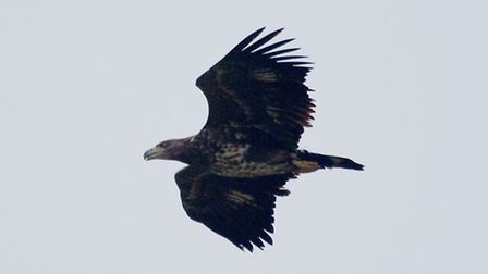 Mandatory credit Photo : Carl Chapman (WT&E)The White tailed Eagle was reported to be shingle hoppin