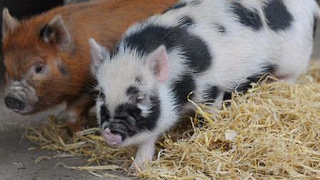 The micro-pigs that have captured the EDP readers and visitors to Wroxham Barns imagination coming u