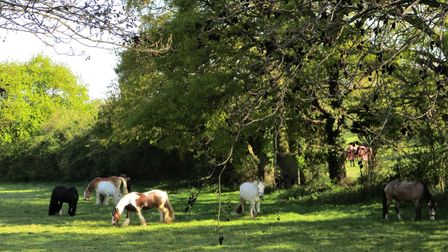 Retired horses at the bottom of Tenpenny Hill, Thorrington Picture: Martin Newell