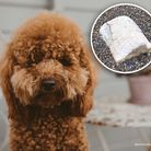 Cookie, a nine-month-old cockapoo, was rushed to the vets in Aldeburgh after she ate some palm oil at the beach near...