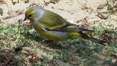 A picture of the rare citril finch at Burnham Overy dunes near Holkham taken by Mark Reeder. Picture