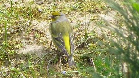 A picture of the rare citril finch at Burnham Overy dunes near Holkham taken by Simon Chidwick. Pict
