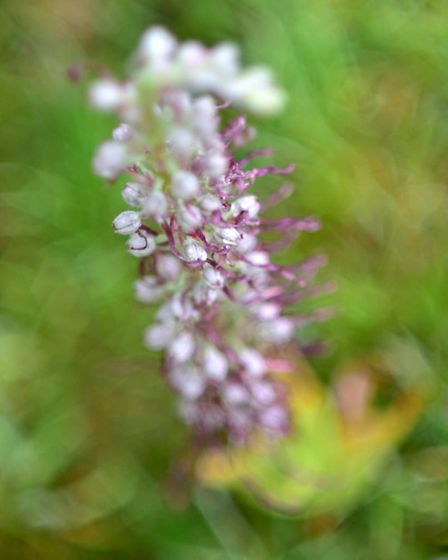 The rare Lizard Orchid found by Andrew Brown. Picture: ANTONY KELLY