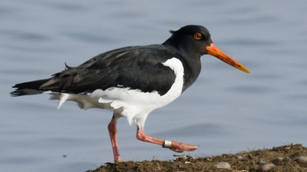 An oystercatcher similar to the one at Cley Marshes. Picture: DAVID CRAWSHAW/ NATIONAL TRUST