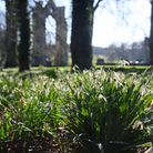 Snowdrops by the priory ruins on snowdrop walk in the Walsingham Abbey grounds, open only to locals