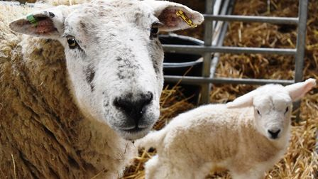 Over 70 lambs have been born at Suffolk Rural this year already