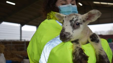 Land-based director at Suffolk RuralLynsey Wilson with Olly the lamb