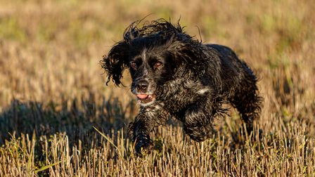 Run Ruby Run, by Andy Wilson, as part of Bungay Camera Club's first competition in 2021.