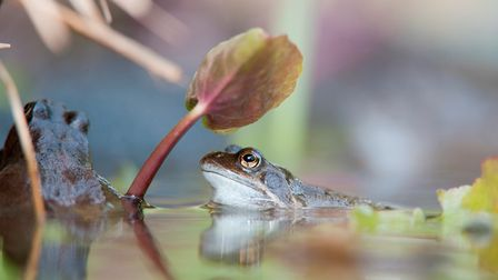 Common frogs are first spotted in the middle of March