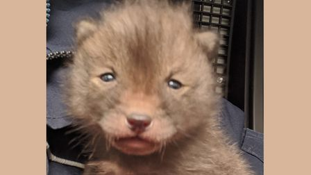 One of the two tiny fox cubs discovered in construction machinery on City Road building site