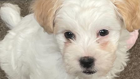 This eight-week-old Coton de Tulear puppy has been stolen from Tweed Close, Halstead