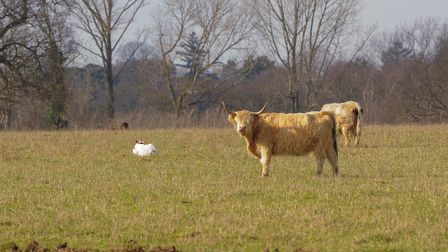 Highland cattle on the Somerleyton Estate which are being left to graze and roam free as part of a n