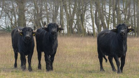 Water buffalo on the Somerleyton Estate which are being left to graze and roam free as part of a new