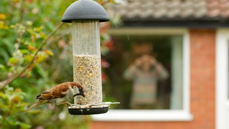 House sparrow numbers have dropped rapidly over the last 100 years