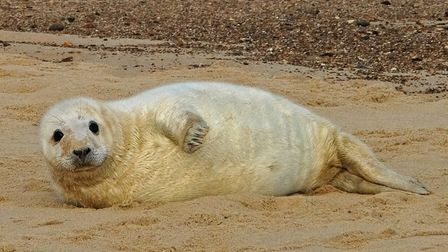 Horsey Gap seal Picture: STEPHEN SQUIRRELL