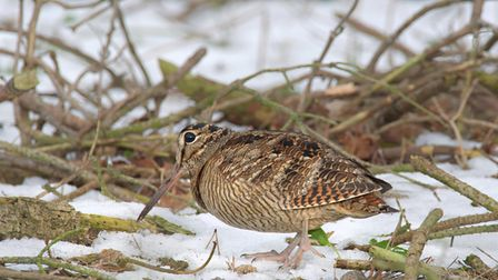 A woodcock, featured in Chris Taylor's video,A year on the wild North Norfolk coast - Winter.