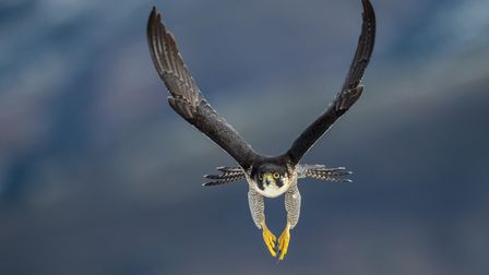 A peregrine falcon in flight frontal flies the mountains of the Cantabrian coast in Spain in search