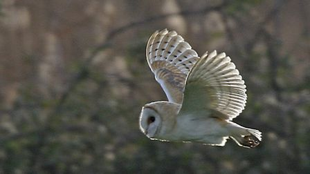 Campaigners claim barn owls will be threatened if 200 homes get the go-ahead at Sculthorpe. Picture: