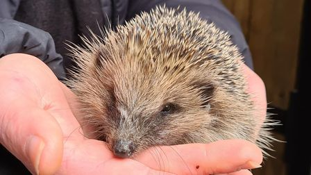 Young female hedgehog Annie was rescued by two teenage boys in Littleport.