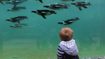 The new penguin enclosure called Penguin Cove at Banham Zoo which is in the top 10 regional league t