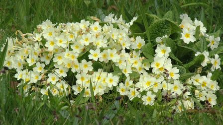 Primrose flowers make a lovely edition to any garden