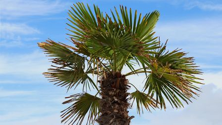 Fan palm trees on the background of the sea ( Trachycarpus fortunei )