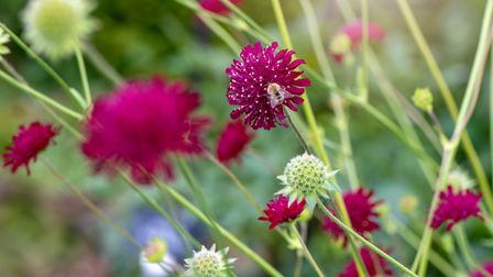 Knautiamacedonica perennials are known for their red hue