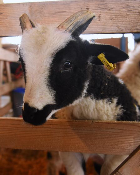 One of the young orphan rare breeds at Church Farm at Stow Bardolph. Picture: DENISE BRADLEY