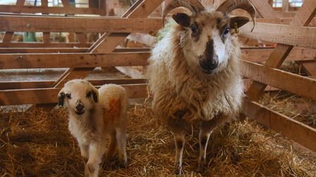 A four-day-old Boreray lamb with his mother at Church Farm, Stow Bardolph