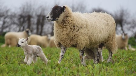 Sheep and young lambs on a turnip field in Wrentham