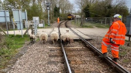 Sheep take wrong turn at Queen Adelaide level crossing in Ely