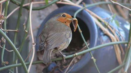 One of the robins bringing food to its young in its teapot nest in Sudbury
