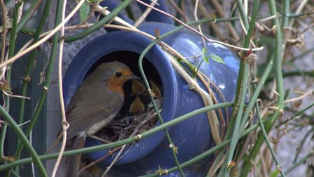 The robin feeding its chicks - three little mouths are just visible.