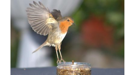 A robin about to help itself to food